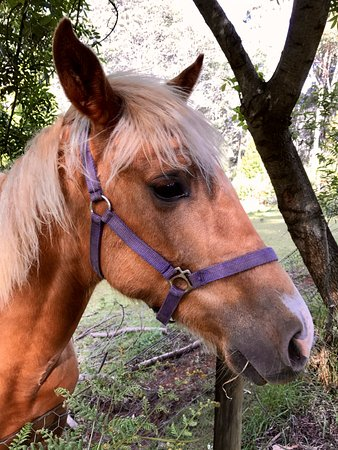 Wilmot, Australien: One of the two beautiful horses on the property - a very curious and friendly fellow.