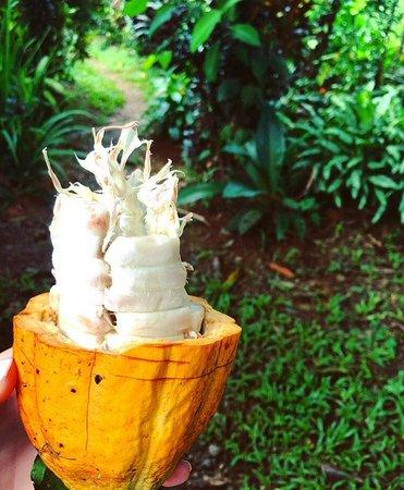 Santiago de Puriscal, Costa Rica: Cocoa Fruit