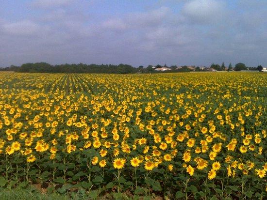 Blaye, Francia: da campi di girasoli...