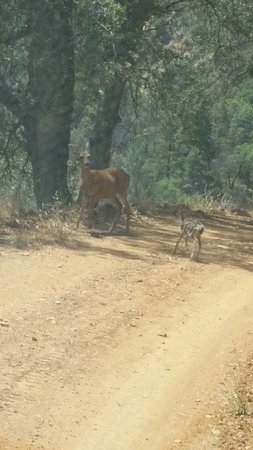 Roaring Camp Mining Company: Busy road back from China Camp - a very new fawn with mother
