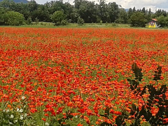 St-Hippolyte, France: Coquelicots