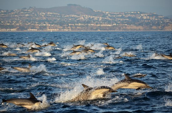 Dolphin stampede off Dana Point