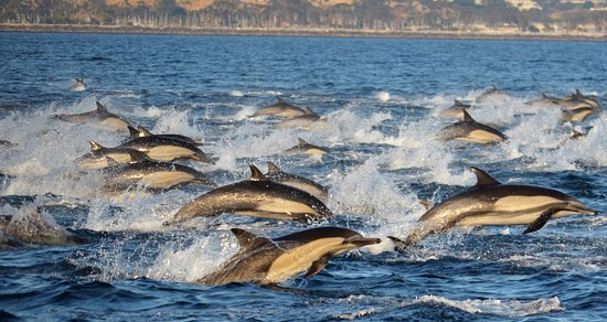 Dana Point, Californien: Dolphin stampede