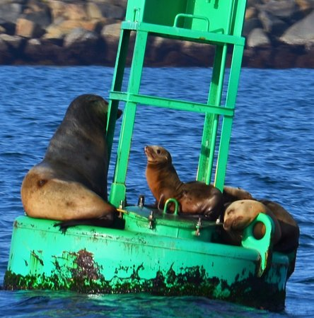 Sea lions at the Dana Point harbor entrance