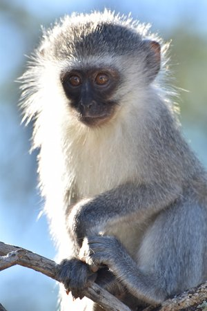 Eastern Cape, Afrique du Sud : Vervet Monkey