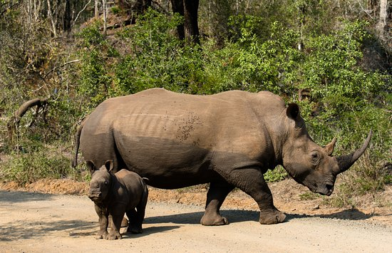 Zululand, Südafrika: Rhinos!
