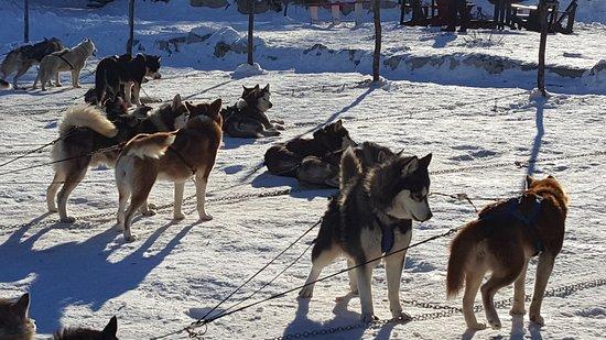 Saint Hippolyte, كندا: Les beaux chiens Husky les héros de la balade