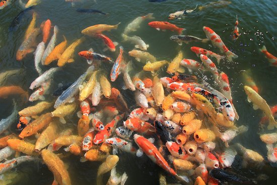 lots of hungry koi fish picture of shukkei en garden hiroshima