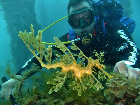 McLaren Vale, Αυστραλία: Maurice checking out this beautiful Juvvy leafy sea dragon