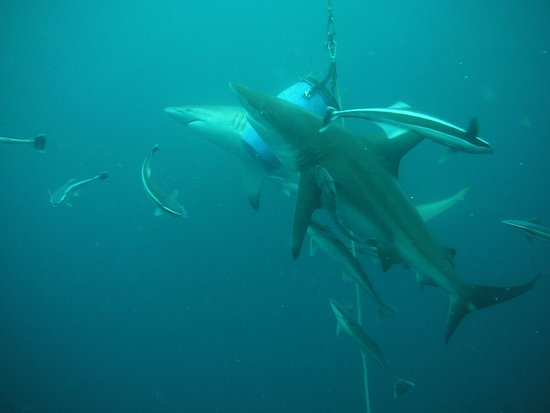Umkomaas, South Africa: Baited Shark Dive - and Action!
