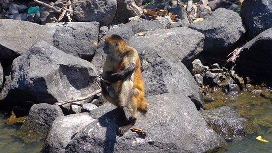 Озеро Никарагуа, Никарагуа: monkey waiting for tourists