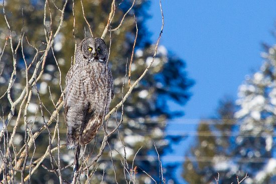 Jackson Hole Eco Tour Adventures: Great Gray Owl near Moran Junction