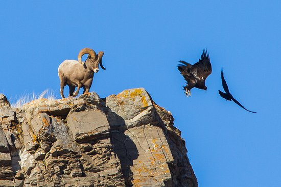 Jackson Hole Eco Tour Adventures: Ram and raven chasing away a Golden Eagle at Miller Butte