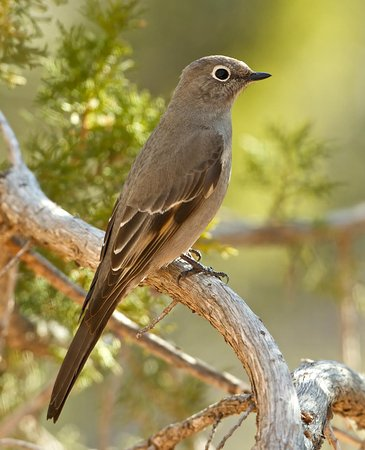 Cedar Crest, Nuevo Mexico: Townsend Solitaire shot from back porch of B&B
