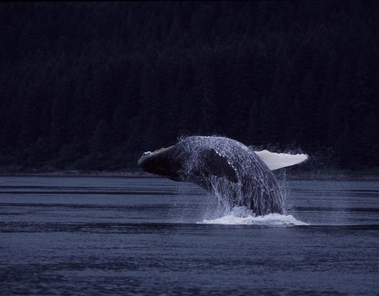Gustavus, AK: Breaching Humpback Whale