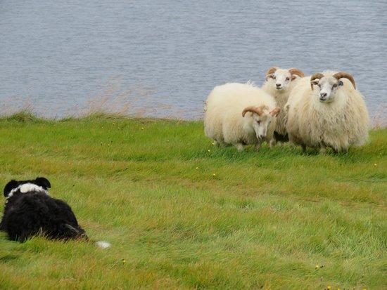 Stykkisholmur, Islandia: Border collie herding sheep on the road to Helgafell