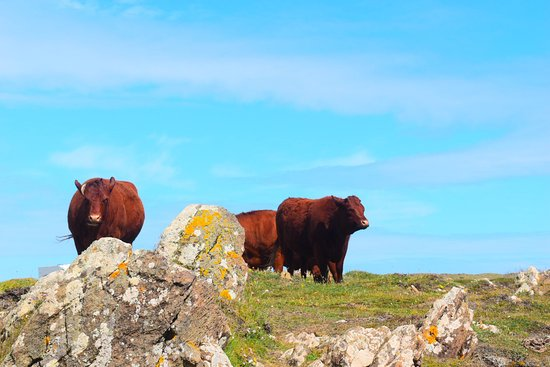 The Lizard, UK: Cows were there when we went!!