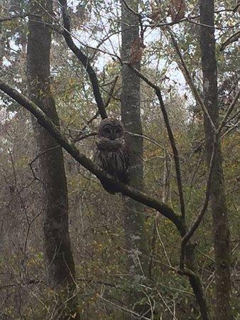 Harleyville, SC: Barred owl