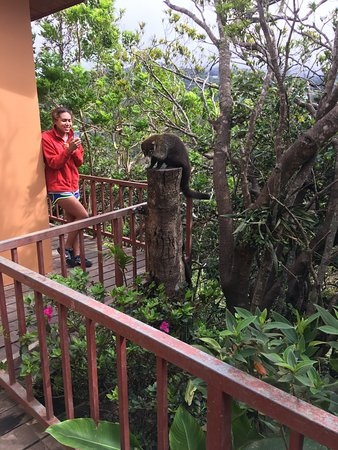 Hotel Las Orquideas: Coati on the hotel grounds