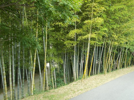 Un Memorial Cemetery Some Bamboo Trees Beside A Pathway On The Grounds