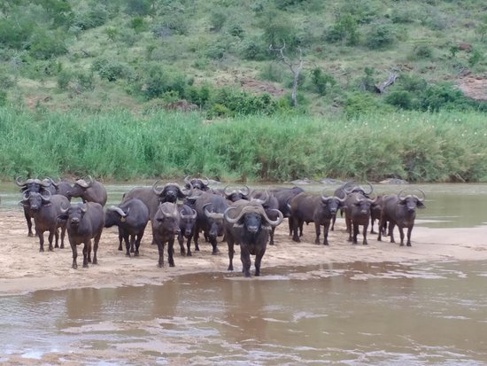 Mvubu River Lodge: Some buffalo