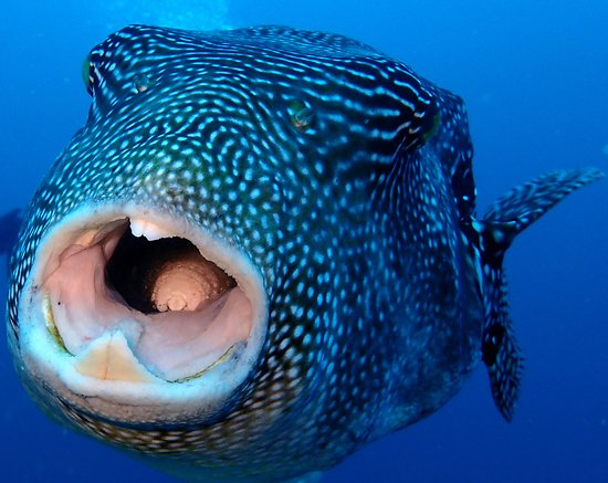 puffer fish with parasite in the mouth picture of padangbai bali