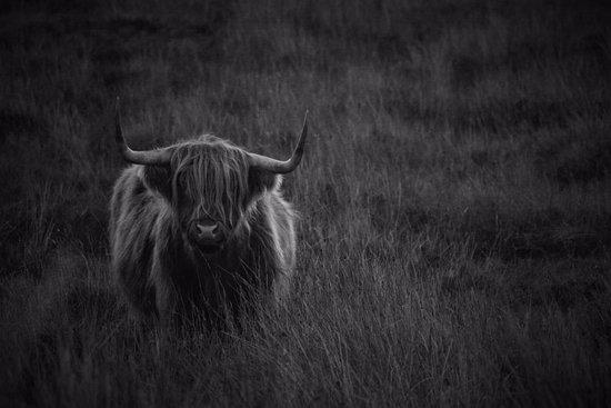 Laide, UK: A Hairy coo near Slaggan