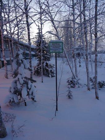 Igarka, روسيا: Трогательное место перед музеем - березка из пос. Ермаково, посаженная бывшим заключенным В. Руг