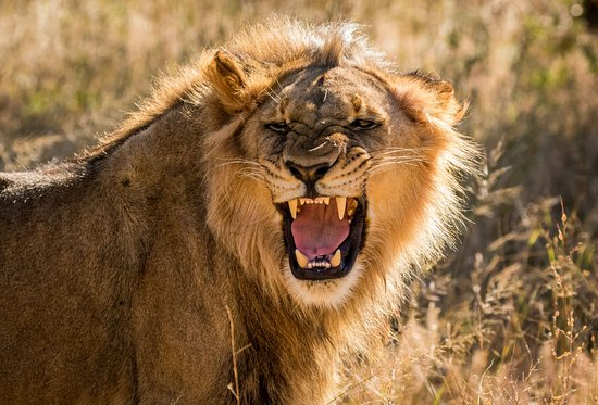 Gweru, Zimbábue: Being able to follow these young lions as they start learning how to hunt is thrilling.