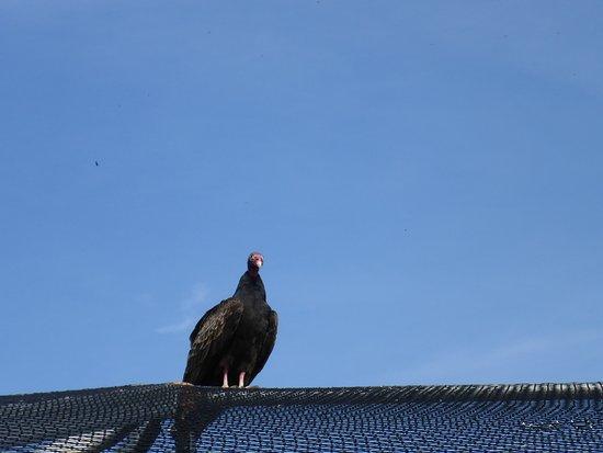 florida keys wild bird rehabilitation center turkey vulture