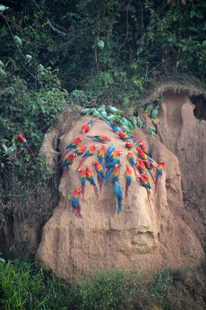 Tambopata Ecolodge: loads of parrots eating clay
