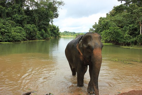 Sayaboury, Laos: one of the elephants who resides at the Conservation Centre emerging from her morning bath.