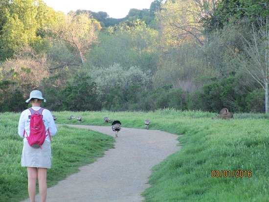 Los Altos Hills, CA: Wild Turkeys and Deer greeted us on the trail.