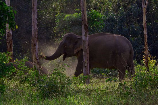 Prachuap Khiri Khan Province, Thailand: Elephant getting a dust bath in late afternoon