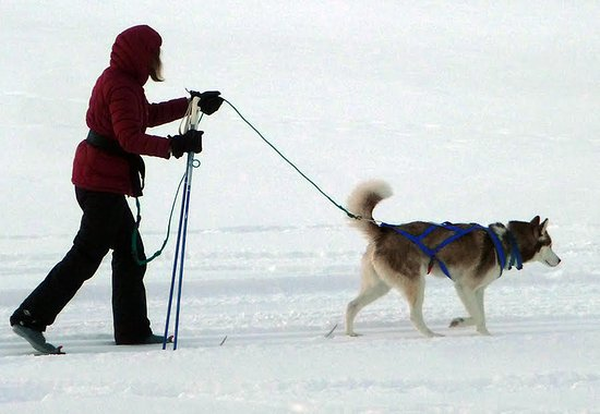 Justin Trails Resort : Skijoring with our Husky dog!