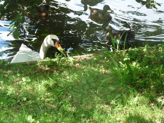 Chorley, UK: Beautiful swan :-D