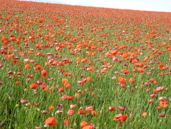 Calne Bed and Breakfast: Poppy field nearby in July
