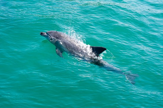 Ocean Safaris: Dolphin