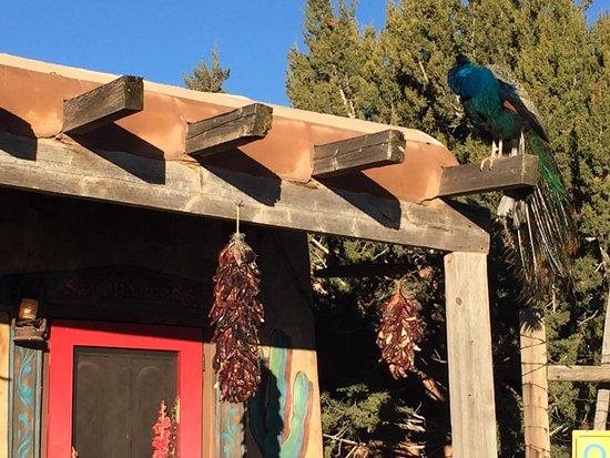 Cerrillos, Nuevo México: Peacock greeter