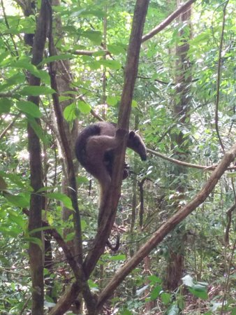Nicoya, Costa Rica: Anteater chilling just a couple of metres from the beach trail