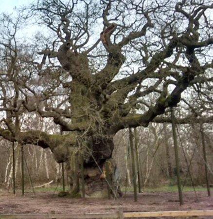 Nottinghamshire, UK: Sherwood Forest