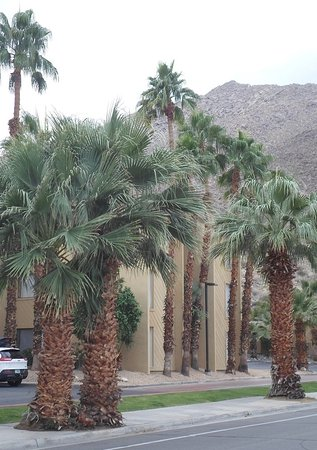 BEST WESTERN Inn at Palm Springs: Fan Palms are along the street near the Best Western