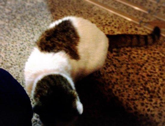 Shiroyone Semmaida: 喜歡黏人的店貓