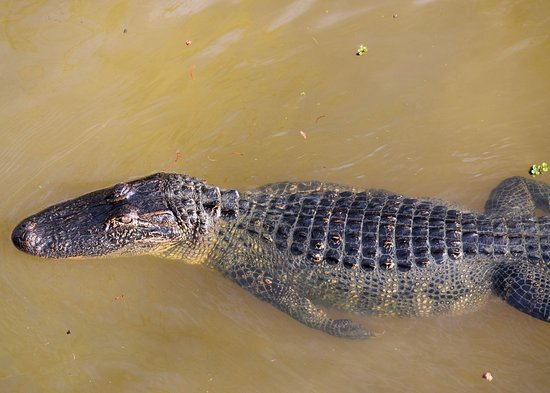 Gibson, LA: Gator called in by Captain Billy
