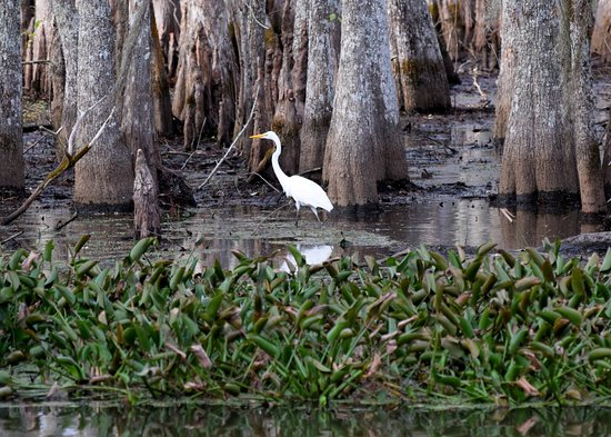 Gibson, LA: White Heron in the swamp