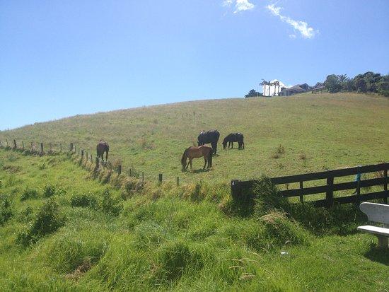 Waiheke-eiland, Nieuw-Zeeland: Local horses/ponies
