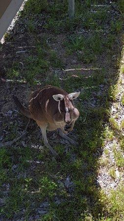 Yanchep National Park (Kangaroo Enclosure)