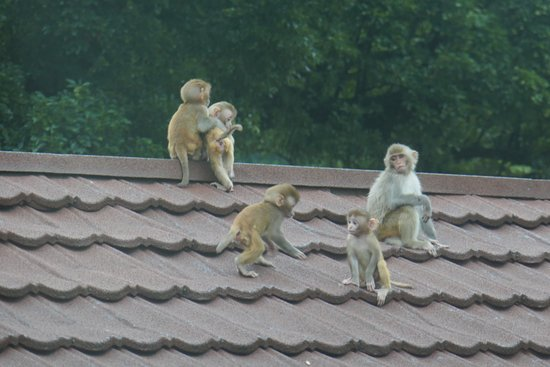 Gokarna Forest Resort: Some of the macaques arriving from the jungle around dusk.