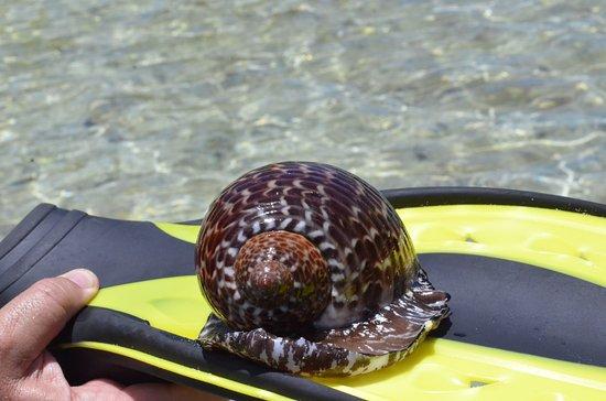 Oro Bay : Caracol marino