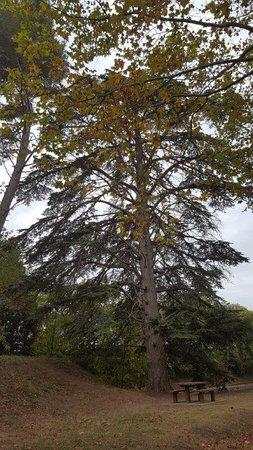 A centenarian tree at the Naurouze